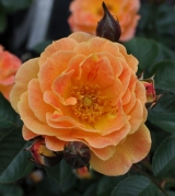 Bodendecker Rose